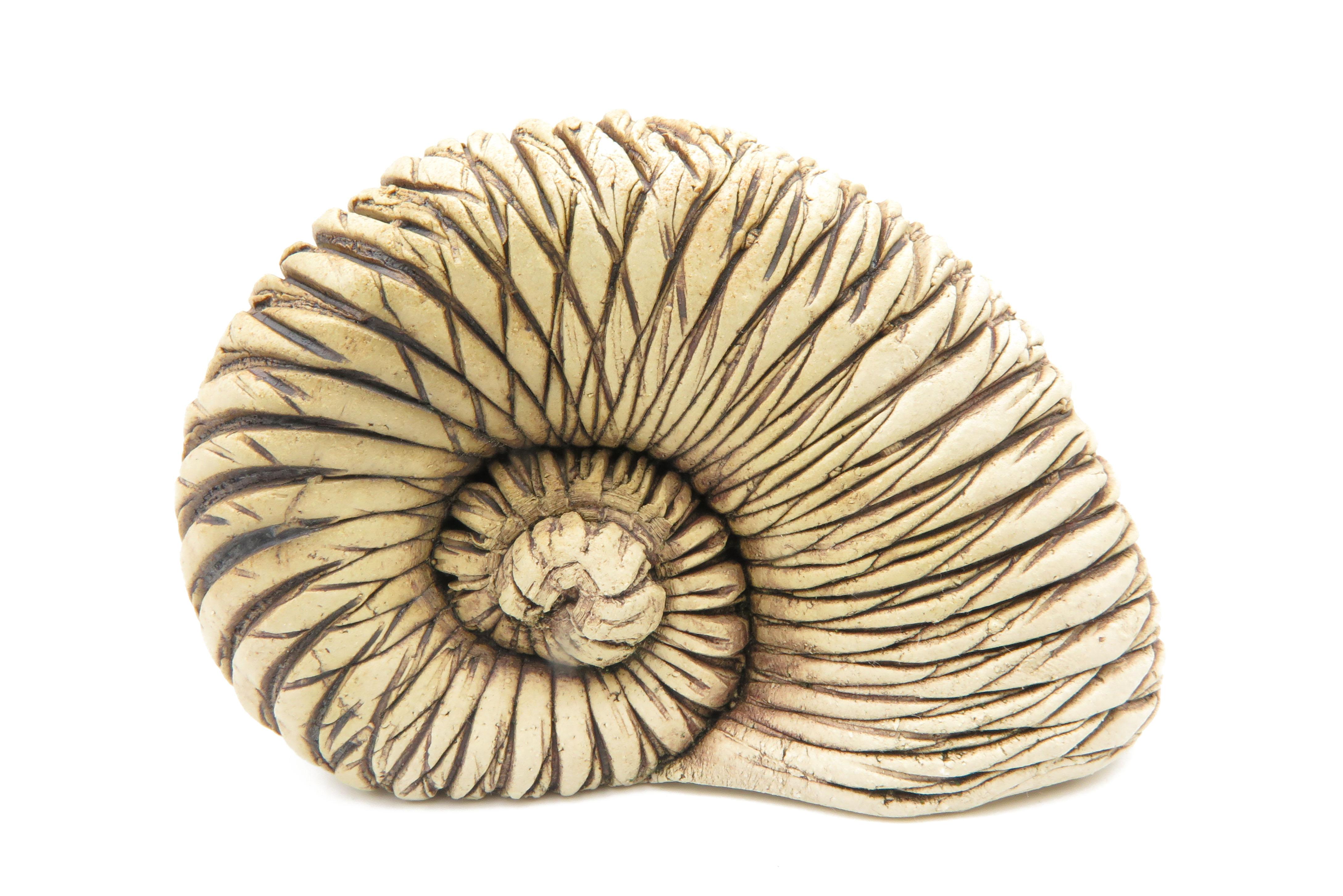 Schnecke ähnlich Ammonit/ XL 13cm